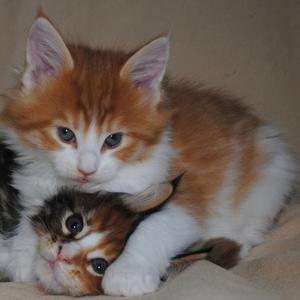 мейн кун котята -чистокровные американцы